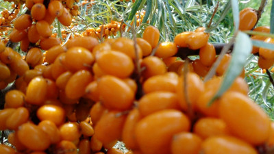 Havtornsbär ekologiska 200 gram, styckfrysta
