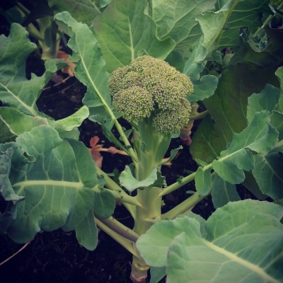 Ung broccoli