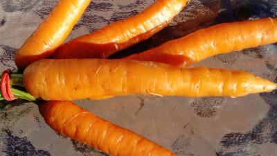 Morötter ekologiska,  knippe ca 7 st