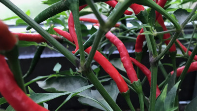 Ekologisk chili
