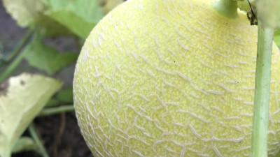 Ekologisk melon