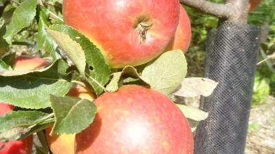 Äpple,  per kg