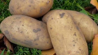 Delikatesspotatis - Gourmandine