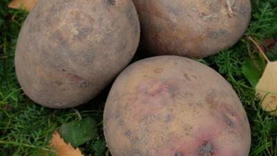 Mjölig potatis - Carolus