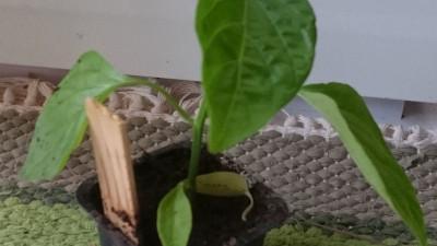 Chiliplanta - Hot Lemon